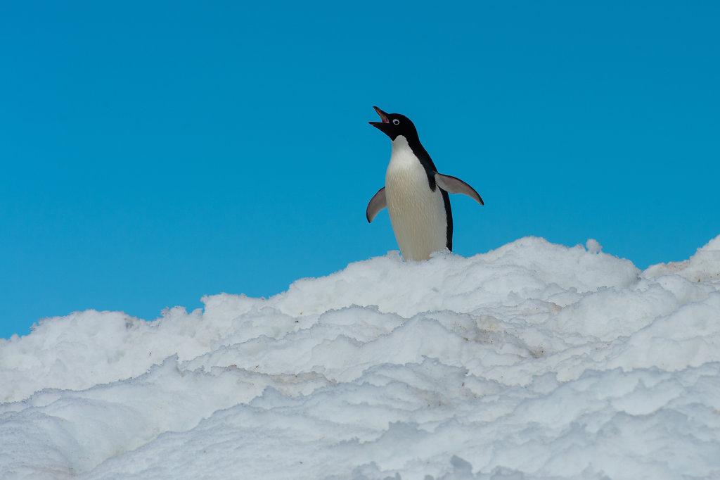 Adelie Pinguin